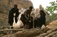 A Dogon priest and his assistants sacrificing a goat to insure safe passage of deceased to the underworld, Niger