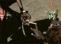 Maasai elders placing meat finger-rings on middle fingers of new warriors.