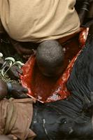 Maasai elder drinking blood from unblemished bull.