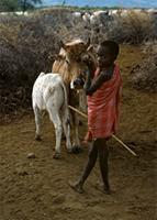Maasai boy with cow and calf.