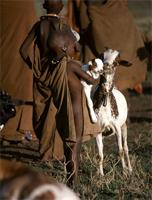 Maasai boy with goats.