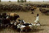 Herdsman with goats and cattle, Woodabe people of Niger.