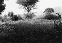 Mzee Noah's Shamba; Maize field with stunted plants in foreground; Direction - South