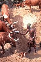 Himba man watering cattle.