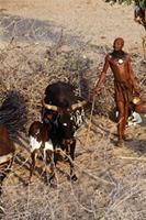 Himba man standing near cow and suckling calf.