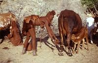 Himba women milking cows.