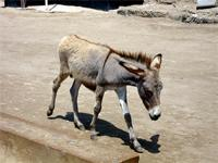 Photograph of a donkey in the streets of Lamu, Kenya