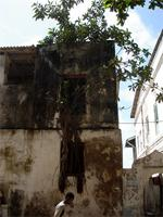Photograph of the tree in the window, Lamu Town, Kenya