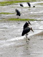 Photograph of birds, Lamu, Kenya