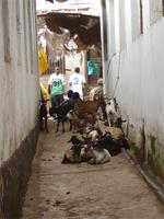 Photograph of animals in the streets of Lamu, Kenya