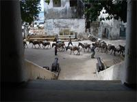Photograph of donkeys in front of the Lamu Fort, Kenya