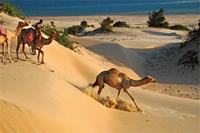 Camels and camelrider traversing the sand dunes on Shela beach.